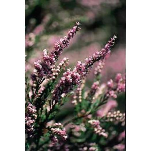 Bach Remedies Bach Heather 20 ml